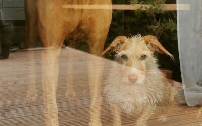 Wie wirkt sich Corona auf den Alltag vieler unserer Hunde aus??